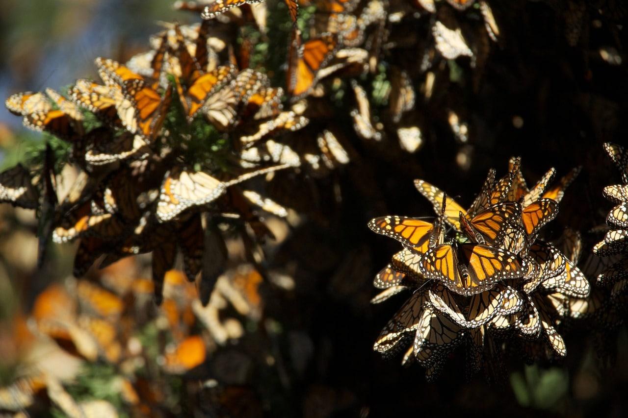 santuario de la mariposa Monarca valle de bravo michoacán