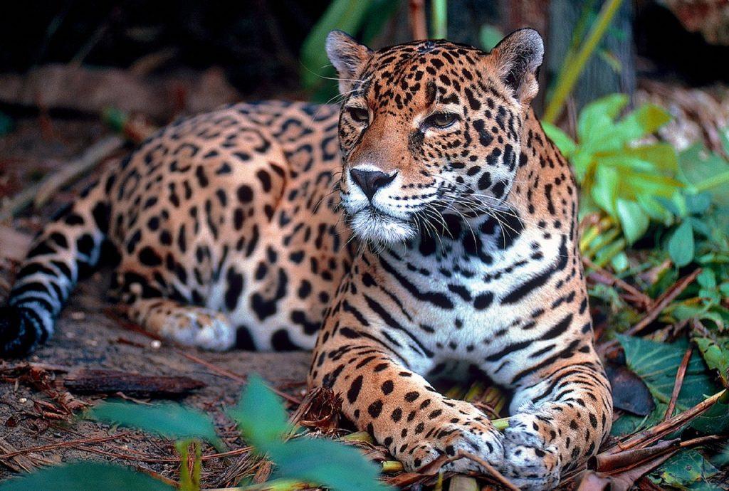 jaguar calakmul